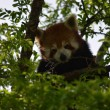 Red panda — Stock Photo #14438193