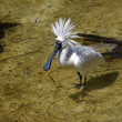 Royal spoonbill — Stock Photo