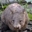 Hairy nosed wombat — Stock Photo