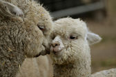 Alpaca mother and daughter — Stock Photo