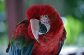 Endangered Macaw — Stock Photo