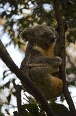 Koala in the fork of the tree — Stock Photo