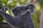 Koala eating — Stock Photo