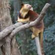 Foto de Stock  : Tree kangaroo