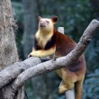 Tree kangaroo — Foto de stock #14710597