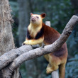 Tree kangaroo — Stockfoto #14710597