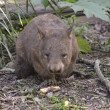 Stock Photo: Australiwombat