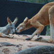Red kangaroos — Stock Photo