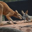 Red kangaroos — Stock Photo #14712027