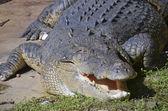 Salt water crocodile — Stock Photo