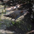 Buff banded rail — Stock Photo