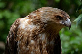 Whistling kite — Stock Photo