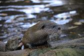 Oriental otter — Stock Photo