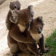 Koala family - Stock Photo