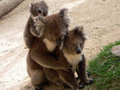 Koala family — Stock Photo