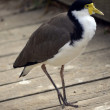 Masked lapwing — Stock Photo