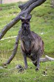 Ki kangaroo — Stock Photo