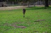 Kangaroo hopping — Stock Photo