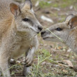 Agile wallabies — Stock Photo #26540959