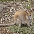 Agile wallaby — Stockfoto