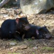 Two tasmanian devils — Stock Photo