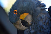 Hyacinth macaw — Stock Photo