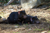 Two tasmanian devils — Stock Photo