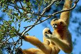 White faced gibbon — Stock Photo