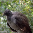 Lyrebird — Stock Photo