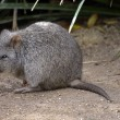 Постер, плакат: Long nose potoroo or rat kangaroo