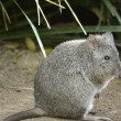 Rat kangaroo or long nosed potoroo — Stock Photo #27061203