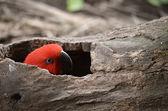 Röd electus papegoja — Stockfoto