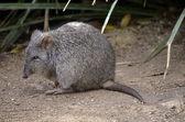 Long nose potoroo or rat kangaroo — Stock Photo