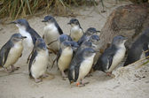 Colony of fairy penguins — Stock Photo