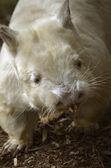 Albino wombat — Stockfoto