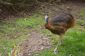 Young cassowary — Stock Photo