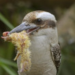 Laughing kookaburra — Stock Photo