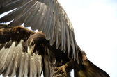 Wedge-tailed eagle — Stockfoto