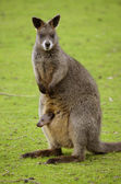 Wallaby with joey — Stock Photo