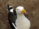 Pacific gull — Stock Photo