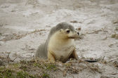 Young sealion — Stock Photo