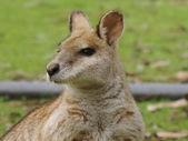 Agile wallaby — Stock Photo