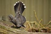 Wattle bird — Stock Photo