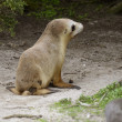 Stock Photo: Sealion pup