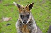 Sumpfwallaby — Stockfoto