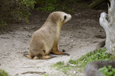 Sealion pup — Stock Photo