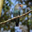 Stock Photo: Dollarbird