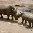Mother and son rhino — Stock Photo