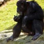 Gorilla — Stock Photo #29757723