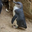Stock Photo: Fairy penguin